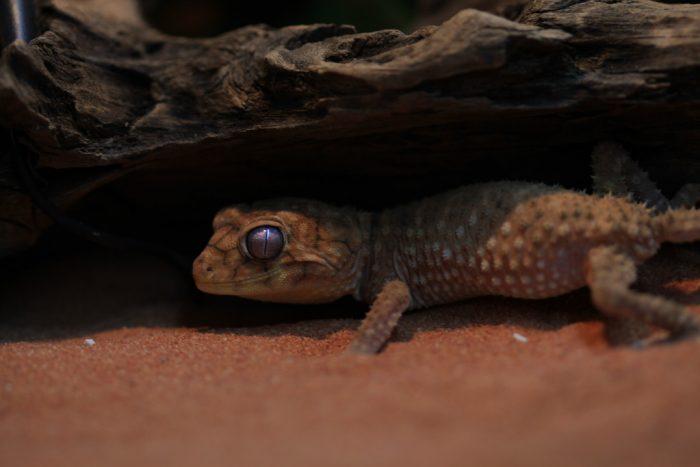 【ペットにできる爬虫類】オニタマオヤモリの飼育と特徴