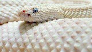 【アルビノ】白ヘビってどうして色が無いの??