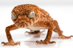 【ペットにできる爬虫類】オニタマオヤモリの飼育方法と特徴