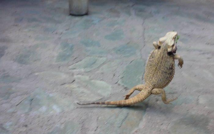 【動画】フトアゴヒゲトカゲってこんなに逃げ足早かったの・・・?