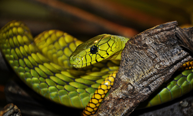 毒蛇の見分け方「頭部が三角形のヘビは毒蛇」は本当?!