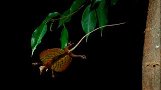 【動画】空を飛べる爬虫類を知っていますか??