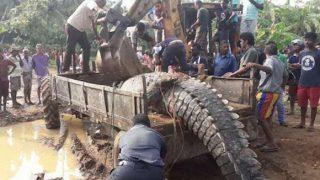 【動画】スリランカで超巨大なワニを捕獲!無事野生に返る
