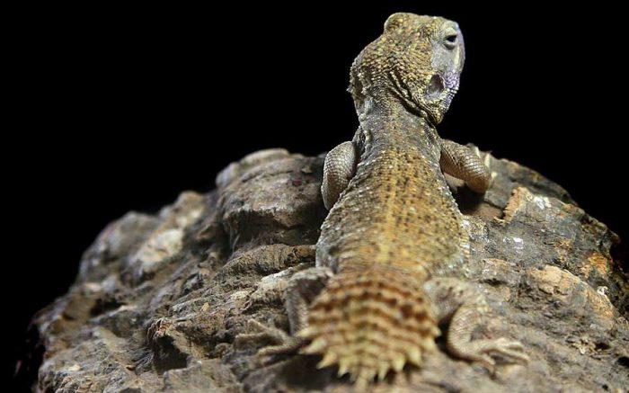 【ペットにできる爬虫類】テーラーカワリアガマの飼育方法と特徴