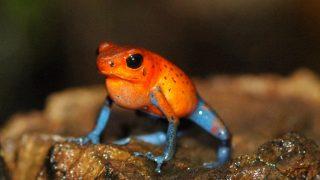 【画像】ヤドクガエルの種類と毒の強さについて