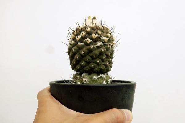 コピアポア ヒポガエア(Copiapoa hypogaea)全体