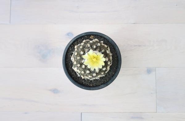 コピアポア ヒポガエア(Copiapoa hypogaea)開花真上から