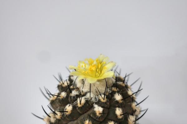 コピアポア ヒポガエア(Copiapoa hypogaea)開花