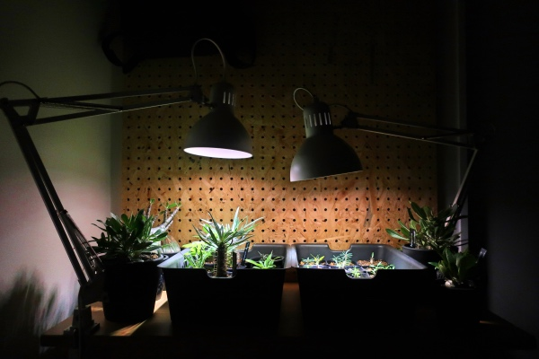 IKEAの育成ライト照射中