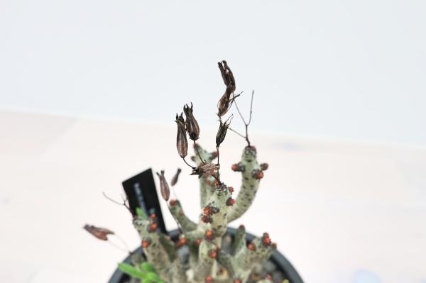 チレコドンブッコルジアーナ(Tylecodon buchholzianus)接写2