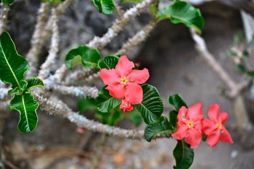 パキポディウムウィンゾリーの赤花