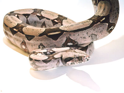 b-c-constrictor01