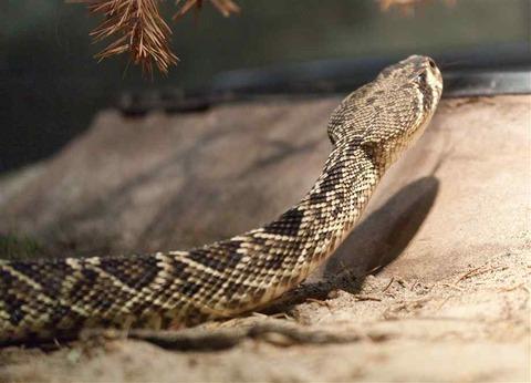 eastern-diamondback-rattlesnake-1