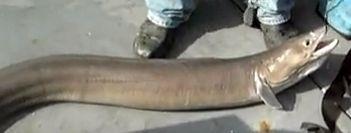live-conger-eel-