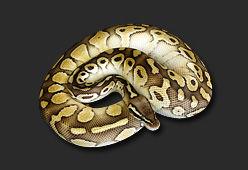 python-regius-butter-pastel