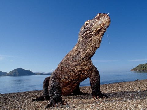komodo_dragon_komodo_island_indonesia-528x396