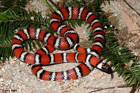 California-mountain-king-snake