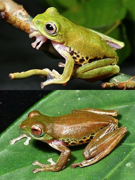 borneo-mulu-flying-frog_19336_big