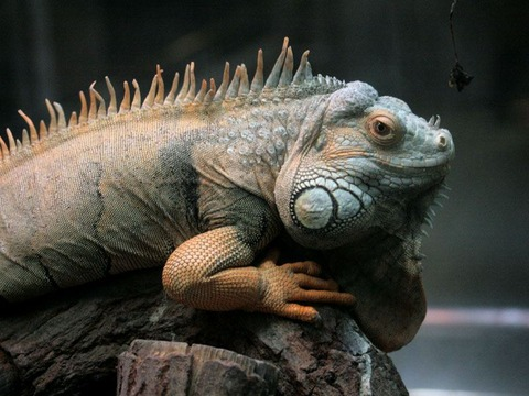 071030greeniguana695