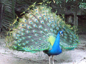 indian_peafowl001