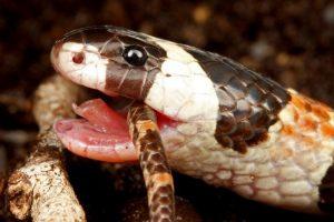 【画像】キングコブラとかいう意味不明な生態を持つ蛇www
