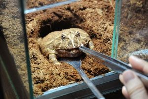 【動画】ツノガエルに梅干しを食べさせた結果wwww