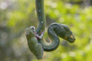 【衝撃画像】カエルとヘビが遊ぶ!! インドネシア