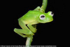 【画像】コスタリカで新種のカエルを発見!半透明で可愛い(*´Д`*)