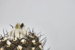 コピアポア・ヒポガエア(Copiapoa hypogaea)の育て方