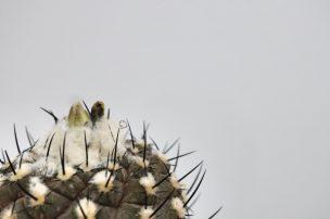 コピアポア ヒポガエア(Copiapoa hypogaea)