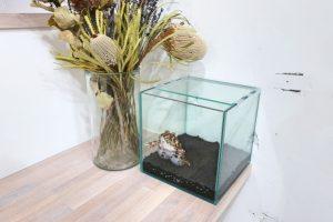 ベルツノガエルの体色は床材や飼育環境で変わるのか?