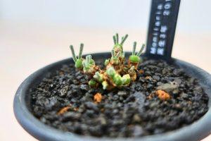 モニラリア・オブコニカ(Monilaria obconica)の育て方